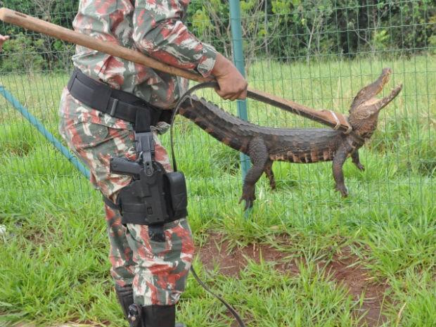 animal foi resgatado pela Polícia Militar Ambiental (Foto: Mirian Machado/ G1 MS)