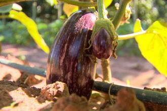Conheça uma nova variedade de berinjela (Foto: Reprodução TV Fronteira)
