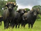 Comissão na ALE discute abate de búfalos no Vale do Guaporé em RO