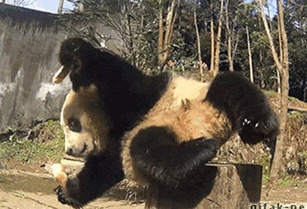 Panda gigante caiu ao tentar se alimentar sentado em tronco de árvore. (Foto: Reprodução/Reddit/Lets_get_hyyerr)