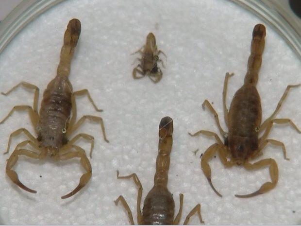 Surgimento do escorpião acontece com mais frequência no calor (Foto: Reprodução/TV TEM)