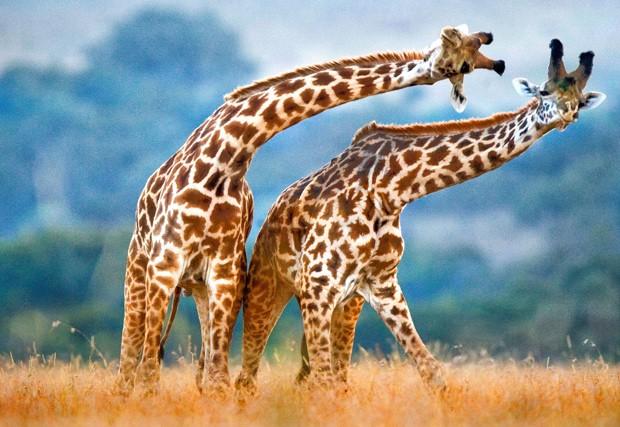 Girafas parecem estar dançando, em foto tirada em parque no Quênia (Foto: Andrey Gudkov/Caters News)