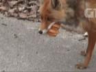 Raposa parece montar sanduíche em área de Chernobyl; veja vídeo