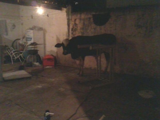 Foto tirada pelo morador mostra o bezerro no quintal da casa.  (Foto: Fotos cedidas pelo morador)