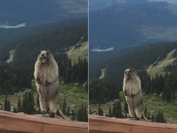Marmota vira hit ao ser filmada 'gritando' em montanha no Canadá (Foto: Reprodução/YouTube/Lone Goat Soap Co.)