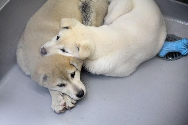 Cães resgatados de fazenda de carne canina vão ser disponibilizados para adoção nos EUA (Foto: Sammy Dallal/AP/Humane Society International)