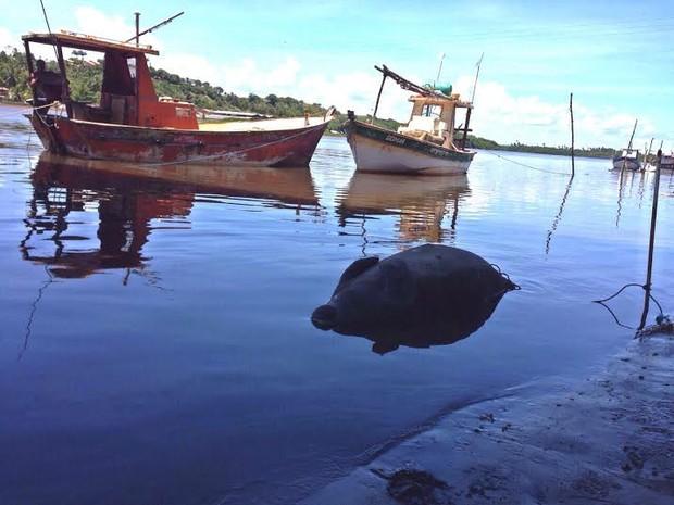 Peixe-boi foi encontrado boiando no Rio Santo Antônio Grande, na Barra de Santo Antônio (Foto: Roberta Cólen/G1)
