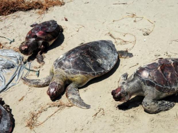 Tartarugas são encontradas mortas em Praia Grande, SP (Foto: Edmilson Lelo/Prefeitura de Praia Grande)