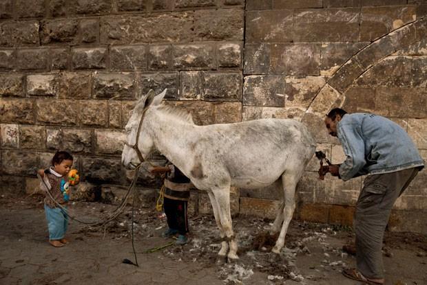 'Barbeiro de burro' leva cerca de 30 minutos para realizar o serviço (Foto: Maya Alleruzzo/AP)