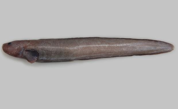 Nova espécie de peixe da família 'Zoarcidae' descoberto por cientistas (Foto: Divulgação/NIWA/University of Aberdeen)