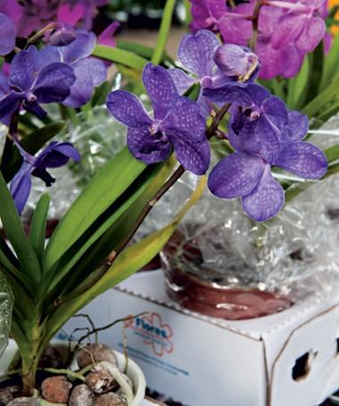 Na Flor Stock, orquídeas phalenopsis coloridas, de R$ 150 a R$ 180 a caixa com oito unidades (Foto: Ilana Bar/ Editora Globo)