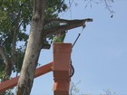 Árvore centenária é derrubada em praça da área central de Porto Velho