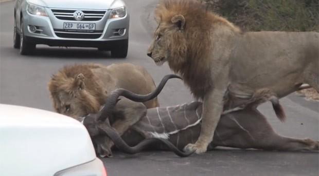 Publicado no mês passado, o vídeo recebeu mais de 75 mil visualizações (Foto: Reprodução/YouTube/Kruger National Park)