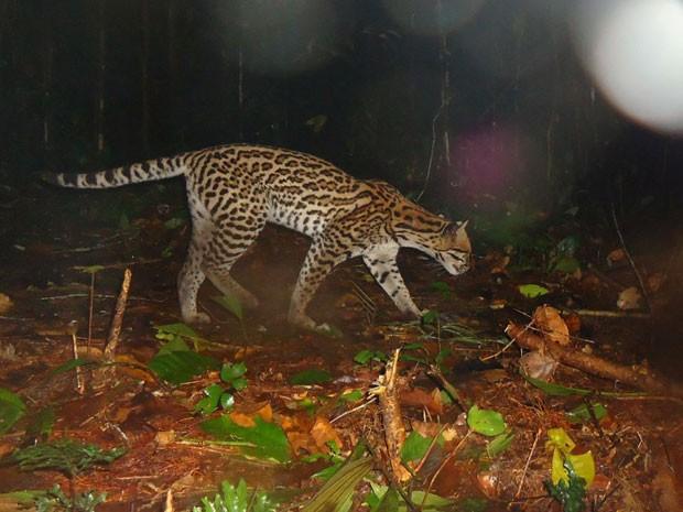 Exemplar de jaguatirica passeia no meio da reserva Amanã, área protegida na Amazônia. (Foto: Divulgação/Projeto Iauaretê/Instituto Mamirauá)