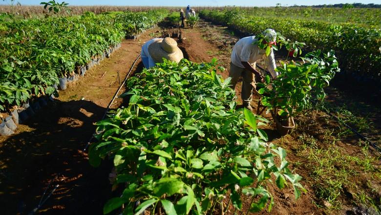 trabalhador_mudas_fazenda_brejinho_to (Foto: Ernesto de Souza/Ed. Globo)
