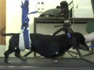 Cirurgia recuperou os movimentos das patas traseiras dos cães (Foto: BBC)