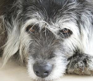 Cão idoso (Foto: Thinkstock)