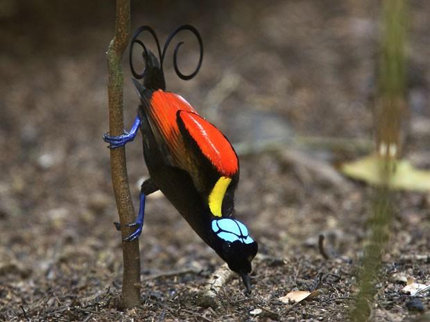 Exemplar de ave-do-paraíso de Wilson (Cicinnurus respublica) (Foto: Tim Laman, National Geographic/AP)