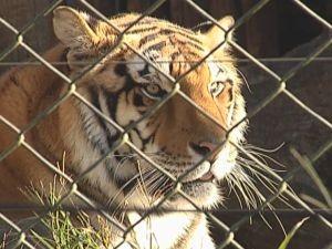 Alguns animais, como o tigre, tem a pelagem como proteção.  (Foto: reprodução/TV Tem)
