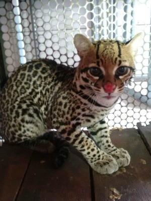 Gato-do-mato foi resgatado de cemitério em Alta Floresta (MT) (Foto: Divulgação/Corpo de Bombeiros)