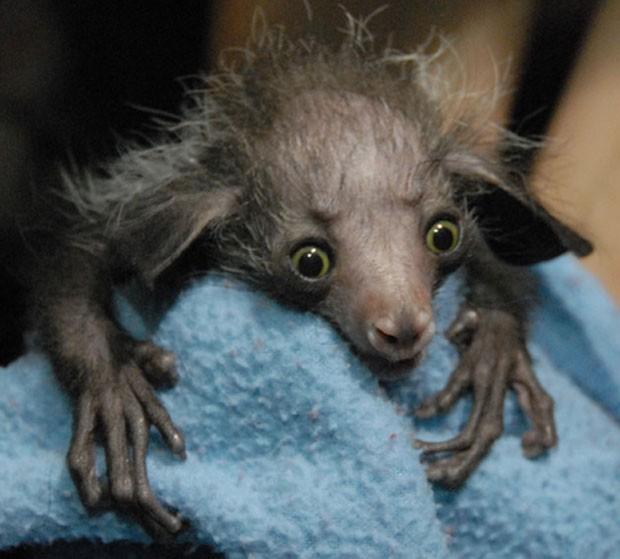 Foto divulgada em 2010 pelo zoológico da Filadélfia mostra um filhote de aye-aye, uma espécie de lêmure. Na época, ele ganhou o nome de 'Smeagol', em referência ao personagem da saga 'O Senhor dos Anéis' (Foto: Divulgação)