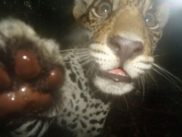 Filhote de onça-pintada percebe a câmera no meio da floresta e coloca a pata na lente do equipamento. (Foto: Divulgação/Projeto Iauaretê/Instituto Mamirauá)