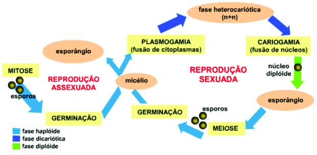Reprodução assexuada das bactérias (Foto: Reprodução/Colégio Qi)