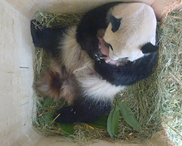 Panda Yang Yang e os filhotes gêmeos, na Áustria (Foto: Schoenbrunn Zoo)