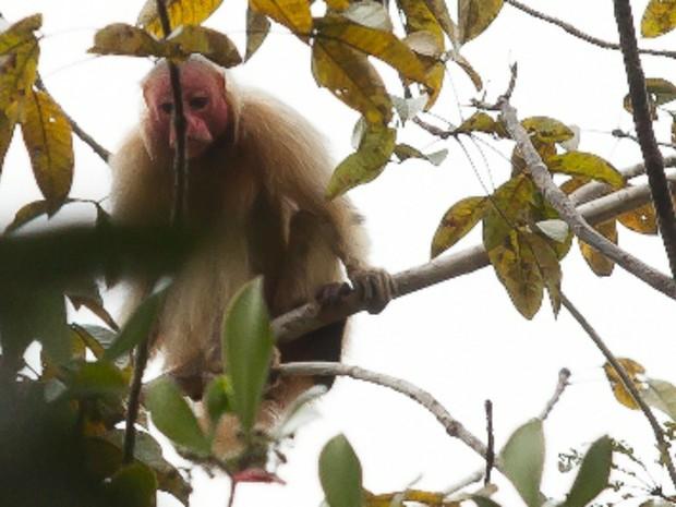 Macaco Uacari (Foto: Rafael Forte)