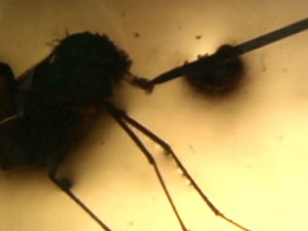Pesquisadores extraíram saliva do mosquito Aedes aegypti e testaram em camundongos com inflamação intestinal (Foto: Antônio Luiz/EPTV)