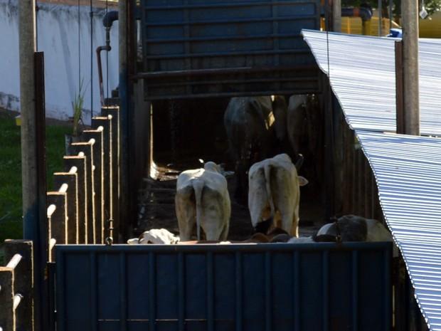 Bovinos já no corredor de abate do frigorífico Naturafrig em Rochedo (Foto: Anderson Viegas/Do G1 MS)