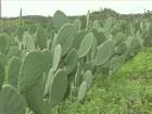 Projeto estimula cultivo de palma forrageira em assentamentos do CE