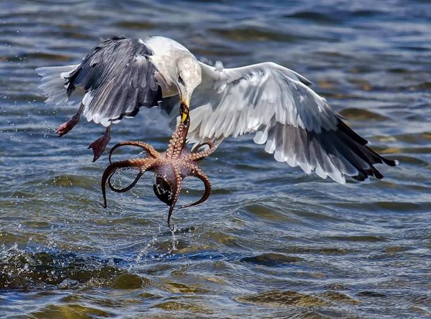 Andrew J. Lee flagrou luta dramática entre gaivota e polvo (Foto: Andrew J. Lee/Solent/Grosby Group)