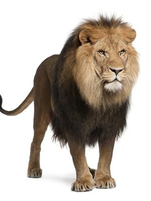 Leão  (Foto: Eric Isselee / Shutterstock)