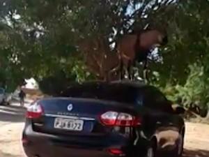 Bode subiu em carro em Juazeiro, na Bahia (Foto: Fábio Ramon/ Arquivo Pessoal)