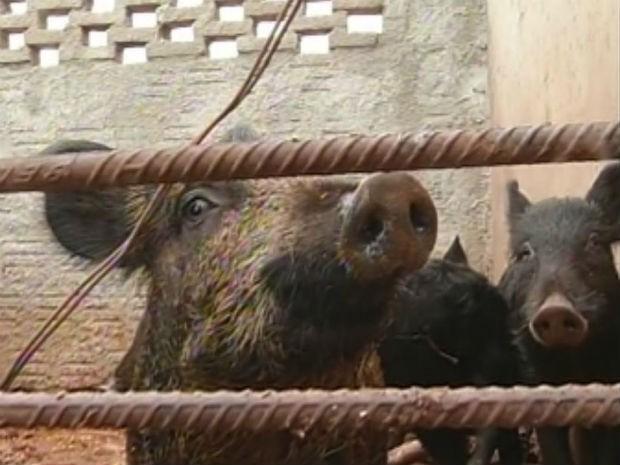 Ibama autorizou a caça do javaporco já que o animal não tem predador natural (Foto: Reprodução/TV Tem)