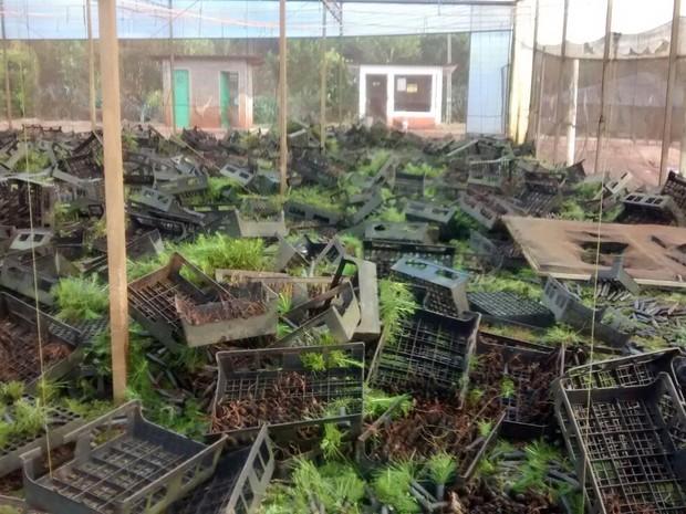 Segundo a Araupel, mais de 1,2 milhão de mudas de pinos para reflorestamento foram destruídas durante a ação do MST (Foto: Araupel / Divulgação)
