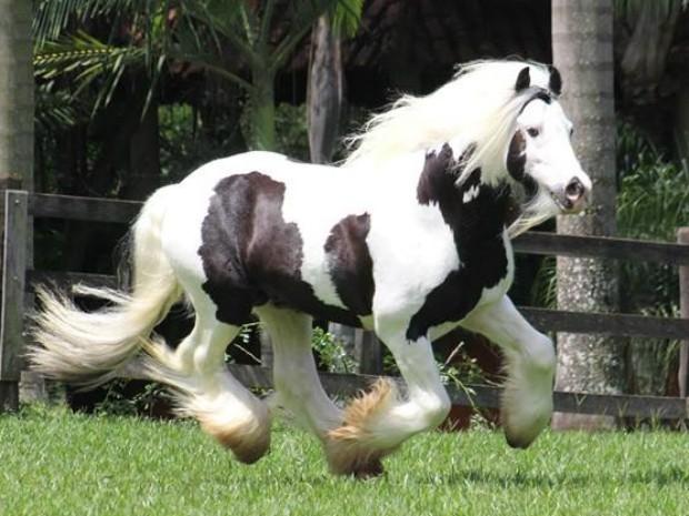 Considerada dócil, a raça Gypsy Cob  é conhecida no Brasil como Gypsy Horse (Foto: Divulgação/ExpoLondrina)