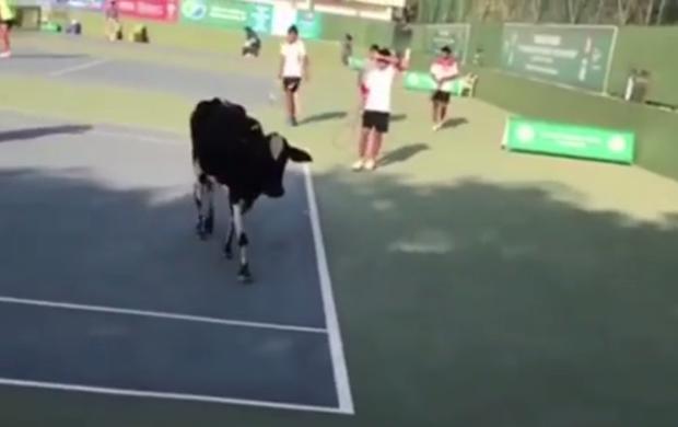 BLOG: Vídeo: Vaca invade torneio de tênis profissional na Índia