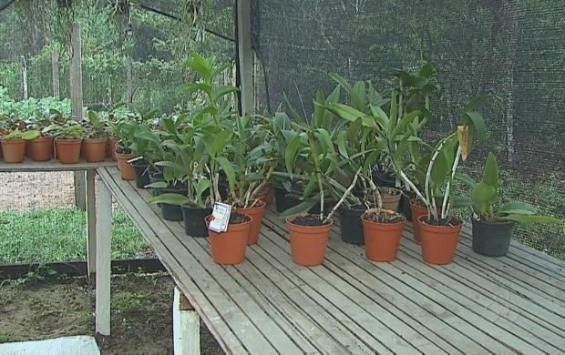 A reportagem destaca dicas para o cultivo das orquídeas. (Foto: Bom Dia Amazônia)
