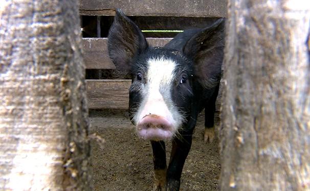 Festas de fim de ano fazem aumentar a procura por carne suína no Oeste Paulista (Foto: Reprodução/TV Fronteira)