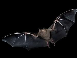 Morcego (Foto: Hudson Garcia)