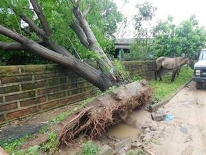 Árvore caída após temporal na cidade de Rio Pardo (Foto: Prefeitura de Rio Pardo/Reprodução)