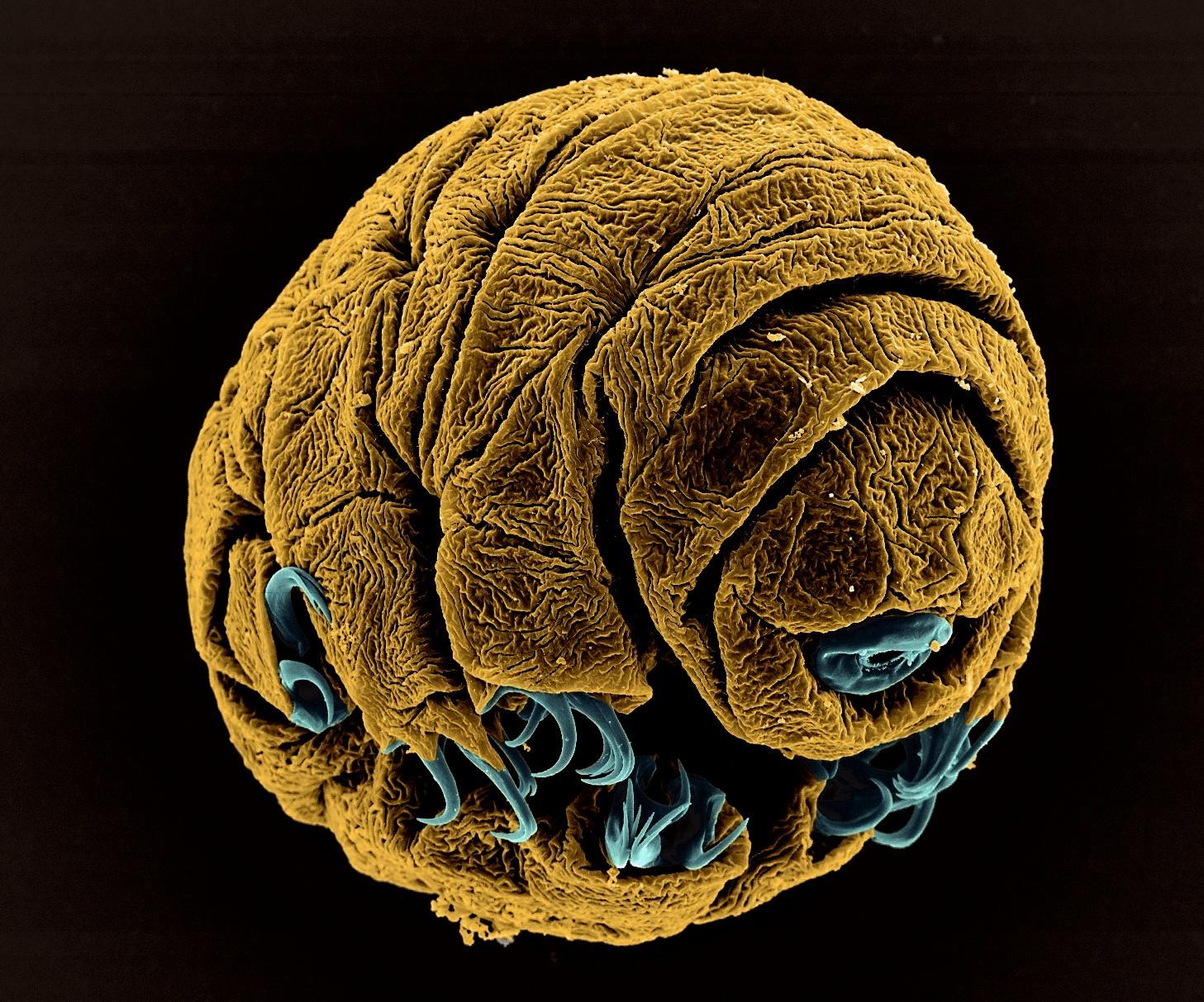 """Vice-campeão na categoria """"Microimagem"""", Vladimir Gross registrou uma tardigrada, seres microscópicos que também são conhecidos como ursos-d'água (Foto: Vladimir Gross)"""