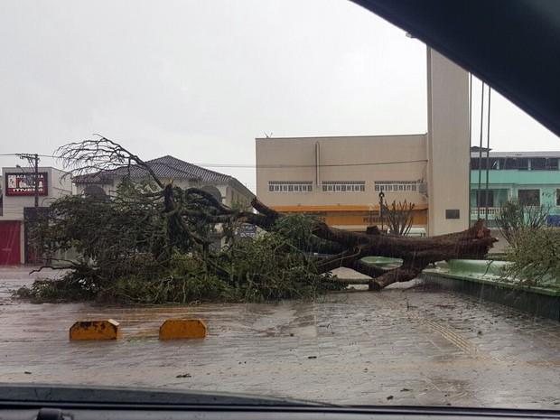 Árvores caíram no Centro da cidade e em alguns bairros próximos (Foto: Reprodução Whatsapp)