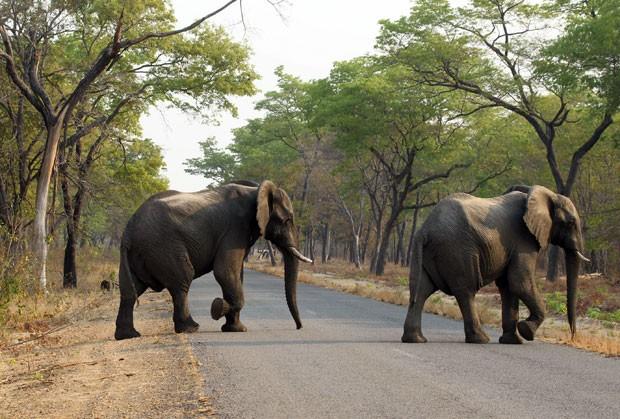 Elefantes são vistos no Parque Nacional Hwange, no Zimbábue, em foto de 1º de outubro (Foto: Tsvangirayi Mukwazhi/AP)