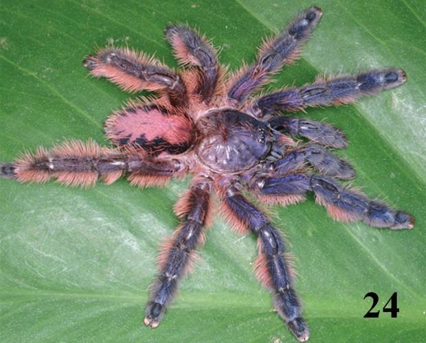 Aranha 'Typhochlaena amma', encontrada no Espírito Santo, segundo o estudo (Foto: Reprodução/'ZooKeys')