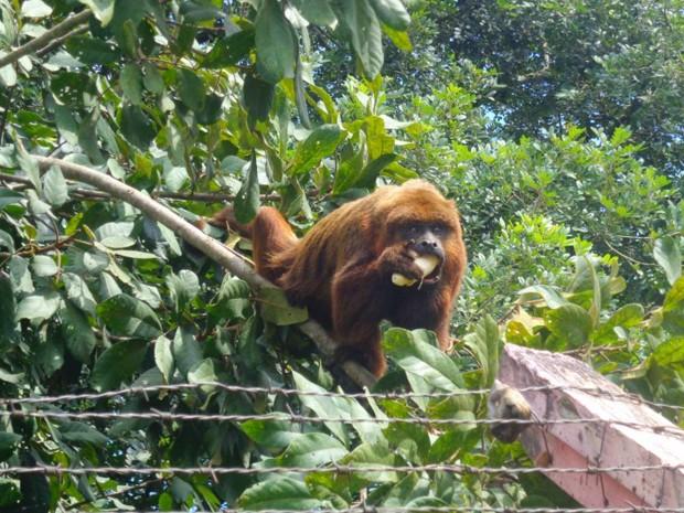 Moradores alimentam macaco que fugiu de zoológico. (Foto: Fátima Beneton)