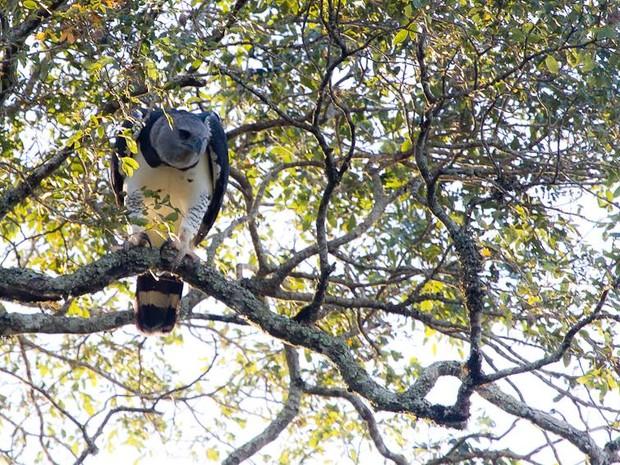 Harpia águia Parque Estadual do Turvo; RS (Foto: Dante Meller/Divulgação Sema)