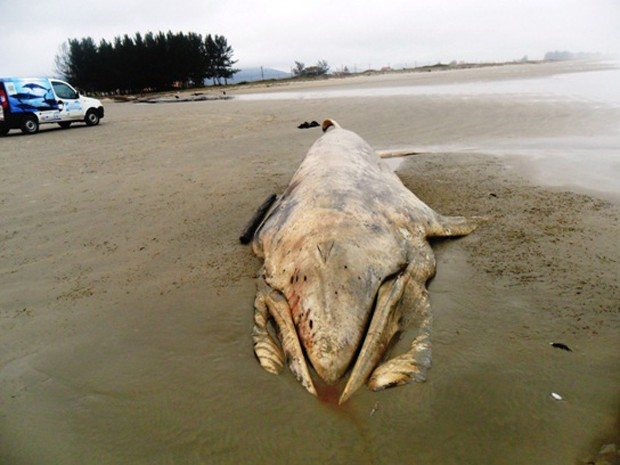 Baleia encalha morta (Foto: Divulgação/ Prefeitura de Ilha Comprida)